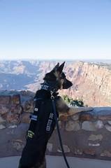 US Service Dog at Grand Canyon National Park (Arizona) (Marta_or) Tags: veteran servicedog unitedstates 77daysintheus grandcanyon nationalparks us germanshepherd landscape mountains afghanistanwar donotpet dog usa arizona grandcanyonnationalpark