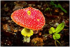 Une fuite dans le toit de la maison des Schtroumpfs !   A leak in the roof of Schtroumpfs's house ! (www.nathalie-chatelain-images.ch) Tags: fort forest champignon mushroom blanc white rouge red whitespots nikon amanitetuemouche