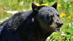 Hungry Bear (Vicente A. Roa) Tags: bear oso omegapark parcomega openair airelibre nikon nikond7100 blackbear roa vicenteroa vicentearoagaspar