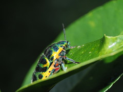 Scutellera amethystina (Japanese insects) Tags: bug insect nature scutelleridae okinawa japan