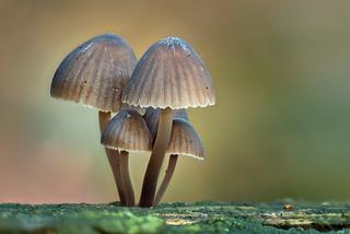 Diese Mini-Pilze nutzen jede kleine Spalte im Totholz um ihre Köpfchen in den Himmel zu strecken
