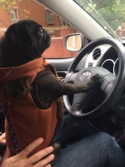 (amy hit the atmosphere) Tags: pug puglife blackpug dog cute pugdog puppy pet adorable car carride carinterior wookie ewok starwars costume cosplay toyota driving traffic