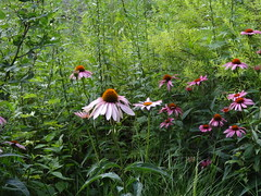 Remember July? (gomosh2) Tags: july coneflowers echinacea