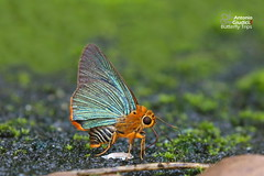The Orange-tailed Awlet - ผีเสื้อหน้าเข็มปีกมนหางส้ม (Antonio Giudici Butterfly Trips) Tags: thailand petchabun tatmoknationalpark butterflies lepidoptera theorangetailedawlet ผีเสื้อหน้าเข็มปีกมนหางส้ม hesperiidae coeliadinae buraravasutana