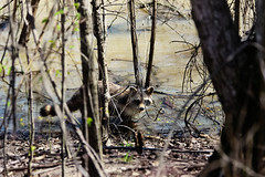 Raccoon (Procyon lotor) (kaptainkory) Tags: mammal mammalia raccoon northern north american water trees ar unitedstatesofamerica usa
