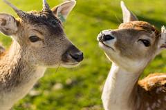 _IMG6052 (leroypierrick) Tags: animaux creuse daim evauxlesbains france limousin suede