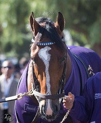 Gormley (angelnumber25) Tags: gormley horse racehorse colt breederscup breederscupjuvenile santaanita