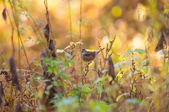 840A6227 (rpealit) Tags: scenery wildlife nature troy meadow whitethroated sparrow bird