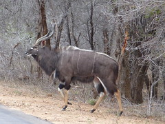 Nyala, Kruger National Park, South Africa, September 2015 (TyneWear-Rob) Tags: kruger park knp sanparks south africa animal animals mammal mammals wild national nyala nix10