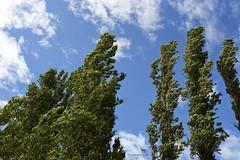 summer (Claudia Knkel) Tags: fortsteilacoompark tacoma washington poplar trees wind summer june sky breeze