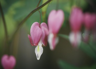 Lamprocapnos (Bleeding Heart )