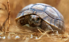 tortue marocaine (ludovic_tardy) Tags: tortue nature animal maroc faune bokeh sony nex