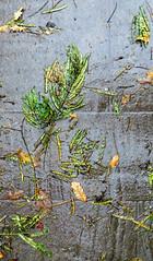 Leaves, me alone (Robert Saucier) Tags: francfort frankfurt jardinbotanique feuilles leaves trottoir sidewalk pavement img4882 pluie rain gris grey vert green