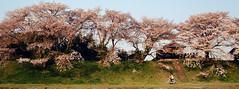 End of sakura (analogrem) Tags: japan japanese sakura cherry cherryblossom spring bike bicycle culture travel nature street analog film trees pink hanami