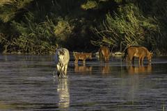 HorsesSaltRiver1-2927 (hubertstevecole) Tags: arizona bushhighway hubertstevecole mustangs nature river saltriver scenic water wildhorses wildlife tontonationalforest