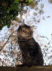 Lucifero (3) (Nikonomane) Tags: nikonomane d3000 cat gatto micio lucifero lucifer