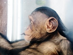 Pan troglodytes --  Chimpanzee child at rest 1374 (Tangled Bank) Tags: asahiyama zoo hokkaido japan japanese asia asian animal zoological gardens pan troglodytes chimpanzee child play 1367 primate chimp juvenile ape
