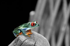 Red Peepers (emerge13) Tags: agalychniscallidryas redeyedtreefrog rainetteauxyeuxrouges costarica mpdquebec