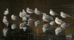 BH-gulls_0331 (Peter Warne-Epping Forest) Tags: blackheadedgull seagulls gulls sun sunlight winter ice chroicocephalusridibundus woodfordgreen angels pond