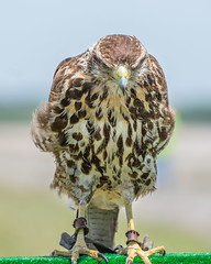 Enojadisimo (tincho.uy) Tags: aerofotofest furia fury serio enojado enojadisimo angry bird pajaro