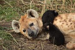 Hyena mother with kids (K.Verhulst) Tags: hyena hyenapups pup puppy pups blijdorp blijdorpzoo rotterdam diergaardeblijdorp gevlektehyena spottedhyena welp