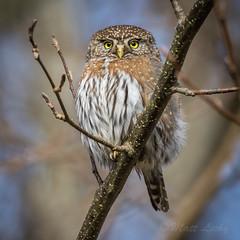 Pygmy Owl (mLichy911) Tags: pygmy owl owls bird wild wildlife pnw wa seattle nature 7dmarkii tamron 150600 portrait feathers detailed igotmyeyeonyou raptor cute tiny small winter cold