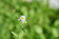 Aomori (yiming1218) Tags: bokeh aomori japan sel2470gm sony gm gmaster fe 2470mm f28 plant flower