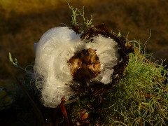 How Hair Ice Forms..x (Lisa@Lethen) Tags: article hair ice frost beard frosty wool rare cold winter nature delicate