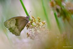 Un Myrtil de juin dernier (EXPLORE) (stephanegachet) Tags: france bretagne morbihan finistère macro papillon butterfly myrtil stephanegachet gachet
