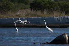 Great egrets (jan.stefka) Tags: canoneos7d volavkabl stagnodisanteodoro italie italy ardeaalba sardegna 2016 greategret sardinie