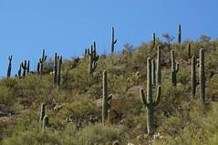 another desert forest (rovingmagpie) Tags: arizona rocksprings blackcanyontrail aguafriariver bradshawmountains saguarocactus saguaro cactus desertforests df2016 forest