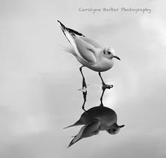 Gull takes a stroll (Carolyne Barber) Tags: