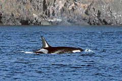 Whale-Watching in der Juan de Fuca Straße - Orca (astroaxel) Tags: kanada british columbia vancouver island wahle watching juan de fuca strase orca wal killerwal