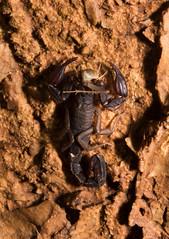 Texas Cave Scorpion (Pseudouroctonus reddelli) (Saundersdrukk) Tags: pseudouroctonus reddelli texas cave scorpion central karst animal invertebrate scorpions macro