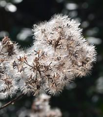 soft beauty (kyry2010) Tags: plant pianta winter inverno flora