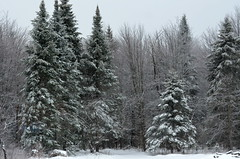 Around The Garden [Bancroft - 30 December 2015] (Doc. Ing.) Tags: 2015 canada ontario on winter northamerica bancroft snow ice trees woods plants landscape