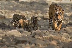Tiger family on the move (dickysingh) Tags: tiger tigers wildlife wild ranthambore ranthambhore noor t39