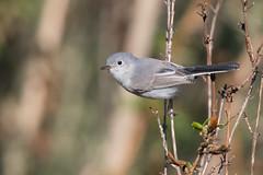 Blue-glay Gnatcatcher (X6C_8901-1) (Eric SF) Tags: bluegraygnatcatcher gnatcatcher coyotehillsregionalpark fremont california ebparksok ebparks