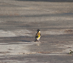 Goldfinch (Saka) (Emre Aksu (Life in Nature)) Tags: bird nature animal canon eos goldfinch national geographic ku saka 450d 55250