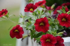 Happiness (Explored) (misst.shs) Tags: flowers yard garden spring nikon saturday cliche redandwhite sandpoint hcs northidaho colburn d7000 ladderproject