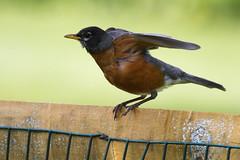 American robin taking flght (Scott Alan McClurg) Tags: life wild bird robin animal fence backyard post wildlife feathers neighborhood perch flap smallbirds songbird