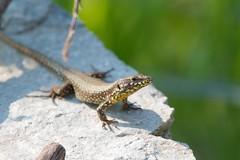 Common Wall Lizard (Podarcis muralis) (piazzi1969) Tags: podarcis reptiles herps italy valsugana wildlife lizards roncegno podarcismuralis walllizard nature fauna 7d