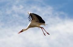 Stork Flight (Patrick Costello) Tags: spain stork avila vila castillayleon ciconiidae specanimal castileandlen