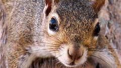 Up Close & Personal Squirrel (Hawk 1966) Tags: park trees portrait cute animal closeup river mammal oak furry squirrel view sebast