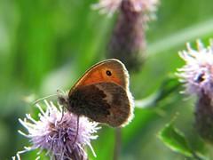 Gatekeeper (thenbman) Tags: flower macro field canon butterfly garden thistle powershot gatekeeper lbs littlebigshot