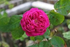 Rosa damascena 'bifera' 'Rose de Rescht' - tuin2 (Ruud de Block) Tags: rosa rosaceae rosadamascenabiferarosederescht