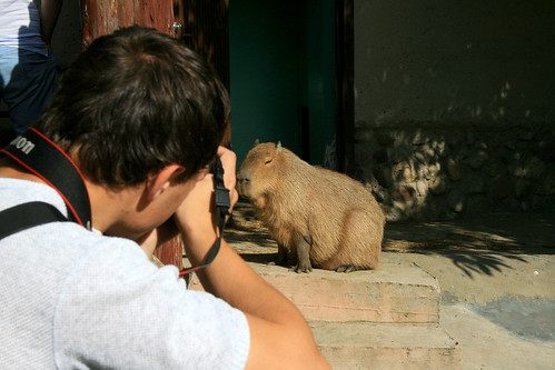 Taking photo of the capybara ©  quirischa