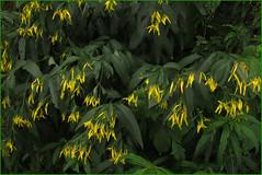 Flora della Valle Carassino. (ticinoinfoto) Tags: flowers flores fleurs flora suisse suiza fiori svizzera blenio carassino