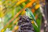 Rose-ringed Parakeet (madrones) Tags: birds asia perched srilanka lk colombo westernprovince southasia psittaculakrameri roseringedparakeet perchingbirds wildlifephotography dutchcanal muthurajawela parrotsallies
