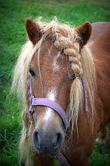 Girl next door (patrick.verstappen) Tags: horse girl animal photo google nikon funny flickr belgium shetland horsetail picassa poney gingelom neighbourhoodgirl d5100